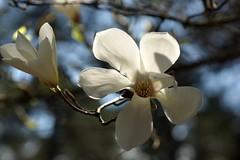 *** (pszcz9) Tags: flower tree nature closeup spring bokeh sony poland polska arboretum magnolia a77 wiosna przyroda kwiat drzewo beautifulearth zblienie