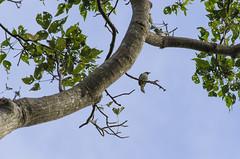 . (arcibald) Tags: bird birds philippines sanjose aves batangas bulbul yellowventedbulbul