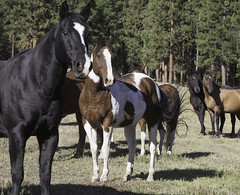 Triple Creek Ranch Horses (tcr5551) Tags: horses horse montana workshop paints pintos quarterhorses carolwalker