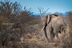 Giant of Savannah (Chiara Salvadori) Tags: africa morning travel winter sea wild sun elephant nature animal landscape southafrica spring bush outdoor dry safari dirt savannah traveling krugernationalpark kruger sudafrica