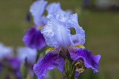 Head Over Heals For Iris -  042916-125116 (Glenn Anderson.) Tags: morning iris white flower garden droplets spring purple pedals bearded