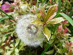 Diente de leo (joluplar) Tags: naturaleza flower green planta nature lumix flor panasonic leon diente fz200