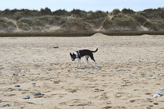 Motley. 5 months. Horsey Beach, Norfolk. 01/05/2016 (willmott-taylor) Tags: dog beach puppy norfolk bordercollie sunnyday horseybeach
