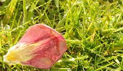 Abgeblhter Tulpenstrau (12) (Chironius) Tags: flower rot fleur blossom flor  fiore blte tulipa tulpen blten liliaceae  liliales  liliengewchse lilienartige lilioideae