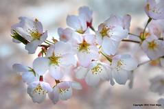 Cherry Blossoms (Trish Mayo) Tags: spring blossoms cherryblossoms wavehill thebestofday gnneniyisi
