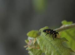 larve de coccinelle (bulbocode909) Tags: orange nature vert avril printemps feuilles insectes coccinelles larves