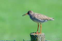 Common redshank (a3aanw) Tags: bird nikon zeeland tringa vogel d800 2016 meivakantie totanus 200500mm