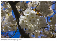 White Blossom (Paul Simpson Photography) Tags: trees plant tree nature spring blossom outdoor branches bluesky colourful naturalworld blossomtree whiteblossom photosof imageof photoof colourfulnature colorfulnature imagesof sonya77 paulsimpsonphotography april2016