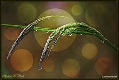 Le gocce di pioggia - Maggio-2016 (agostinodascoli) Tags: macro texture nature photoshop nikon colore erba digitalpainting nikkor piante pioggia sicilia gocce photopainting fullcolor cianciana nikonclubit