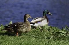 Duck Au Pair ([ Jaso ]) Tags: blue green bird grass leaves sunshine duck nikon aberdeenshire wildlife feather d750 nikkor quack inverurie riverdon 26300