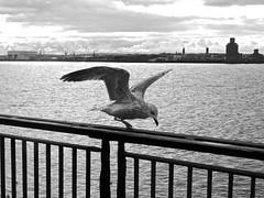 Liverpool (Jonas Arista) Tags: wild england blackandwhite water monochrome birds animals liverpool dock outdoor albertdock wildanimals