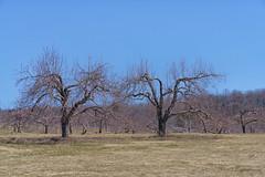 Pommiers / Apple trees (guysamsonphoto) Tags: appletree verger victoriaville pommier victo cielbleu centreduquébec guysamson nikcolorefex4 sony70200f4 sonyalpha7rmkii