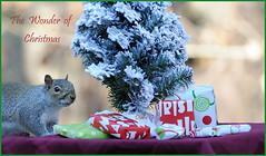 Merry Christmas (Diane G. Zooms--- On/Off) Tags: squirrel easterngreysquirrel coth supershot wildlifephotos fantasticnature squirrelphotos christmassquirrel sunrays5 dianegiurcophotography