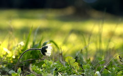 Shy daisy hailing new year (Guido Giachetti) Tags: new plant flower field grass countryside florence year shy campagna tuscany daisy campo firenze toscana fiore prato margherita anno timida nuovo sesto hailing fiorentino colonnata querceto valiversi