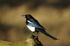 IMGP2012 Magpie, The Lodge, Sandy, January 2016 (bobchappell55) Tags: magpie thelodge sandyrspbnaturereservewildbirdwildlife