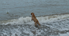 Fetch (newbiephoto92) Tags: ocean sea dog cold beach wales ball seaside jump jumping sand nikon running catch splash leap fetch leaping throw 18mm d3200