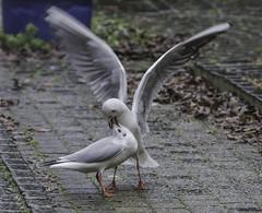 zeemeeuwen seagulls (gijs leusink1) Tags: seagulls nikon meeuwen zeemeeuwen genemuiden sigma150500 nikond7100 gijsleusink