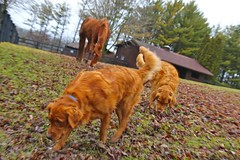 A different kind of red and green Christmas (annemconnor@yahoo.com) Tags: horse dog color field rain animal horizontal wisconsin goldenretriever overcast together pasture chestnut copyspace sniffing tilt companion grazing paddock purebred ridingstable