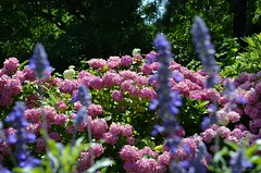 (Sandra Király Pictures) Tags: flowers flower outdoor poland hydrangea kraków cracow botanicalgarden ogródbotaniczny