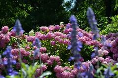 (Sandra Kirly Pictures) Tags: flowers flower outdoor poland hydrangea krakw cracow botanicalgarden ogrdbotaniczny