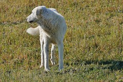 Maremma Sheep Dog (Susan Roehl) Tags: tuscany pienza pienzaprovince italyjune2014 marremasheepdog guardsagainstwolves foundincentralitaly
