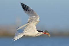 Passing by... (bmse) Tags: fish canon flying l f56 salah bolsachica 400mm eleganttern wingsinmotion 7d2 bmse baazizi
