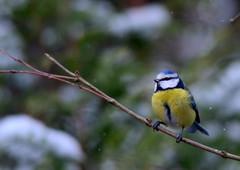 Blue Tit (Blmeis) (Terje Hheim (thaheim)) Tags: winter nikon bluetit 70200mmf28gvr blmeis d7100 nikond7100