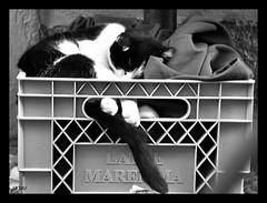 Il Riposo del Guerriero (STEVE BEST ONE) Tags: street blackandwhite bw italy cats monochrome animals cat italian nikon italia streetphotography bn tuscany toscana gatto gatti animali biancoenero 2012 carducci castagnetocarducci d90 castagneto nikonitalia nikonofficial