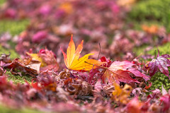 BM7Q1497.jpg (Idiot frog) Tags: red green yellow japan canon eos leaf maple kyoto arashiyama fallenleaves shutterstock 1dx