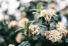 ROZA (rrrroza) Tags: flowers green analog canon 50mm bokeh istanbul analogue filmisnotdead vsco vscocam