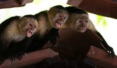 DSC_5416-1 (b.solman) Tags: costa monkey rica whitefaced