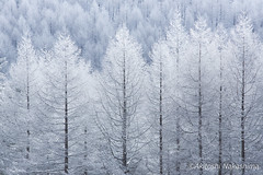 white snow of the tree (nakashy) Tags: trees winter white snow color colour tree nature japan landscape photography eos photo 5d rime nagano 70200mm 200mm 2016 canoneos5dmarkiii 5dmk3 5d3
