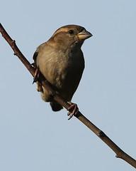 Female House Sparrow. Donna Nook. (Jillandcamera) Tags: donnanook femalehousesparrow 070216