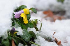 20160118-DSC_7682.jpg (d3_plus) Tags: street sky snow flower nature japan nikon scenery daily bloom  streetphoto 28105mmf3545d nikkor     dailyphoto kawasaki thesedays  28105  28105mm   zoomlense    28105mmf3545 d700 281053545 nikond700 aiafzoomnikkor28105mmf3545d  28105mmf3545af aiafnikkor28105mmf3545d
