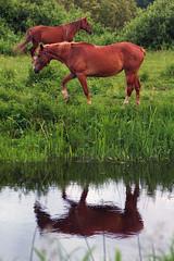 Hobused (Jaan Keinaste) Tags: horse reflection water fauna estonia pentax vesi eesti k3 hobune peegeldus elusloodus pentaxk3