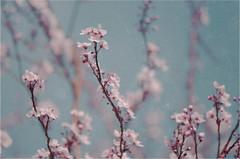 Spring blossom (josefine.hammerby) Tags: flowers tree spring blossom
