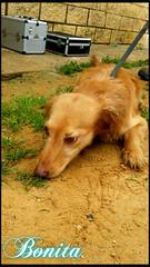 Bonita (santuariolacandela) Tags: españa spain bonita animalsanctuary femaledog adoption perra mestiza utrera rescate fosterhome acogida adopción cabezalavaca santuariolacandela
