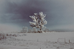 short fiction (parfois) Tags: trees winter light sky white snow tree film ice field fence frozen solitude alone shadows branches nowhere lavender depthoffield pasture alberta lonely badlands melancholy emotions solitary fragile bruised vastness immensity parfois aprilwasteland
