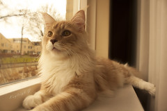 Odin - our Maine Coon (Kayleigh G.) Tags: kitten kat g maine kittens coon odin kayleigh