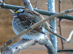White-throated Sparrow_N9385 (Henryr10) Tags: bird yard backyard sparrow avian whitethroatedsparrow zonotrichiaalbicollis zonotrichia albicollis