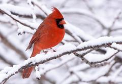 Cardinal (snooker2009) Tags: red male bird nature cardinal pennsylvania wildlife northern redbird