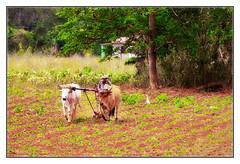 farming (kurtwolf303) Tags: field 500v20f farming landwirtschaft cuba feld bauer caribbean farmer plow oxen kuba ochsen karibik landwirt pflug pflgen 250v10f valledeviales unlimitedphotos canoneos600d