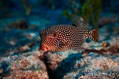 FLA-160202-ND800-6929 (ferlopez) Tags: usa fish underwater moa marinelife makena boxfish mauihawaii ostracionmeleagris hawaiianspottedboxfish