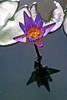 I emerge from muddy water (AlfredSin) Tags: reflection waterlily bluewaterlily lotusflowers alfredsin canonef100mmf28lmacro canoneos760d
