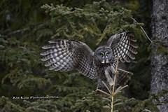 Precision Landing DSC_7221 (Ron Kube Photography) Tags: canada bird nature birds fauna nikon alberta owl greatgrayowl ornithology owls greatgray strixnebulosa southernalberta globalbirdtrekkers ronaldok d7200 nikond7200 ronkubephotography