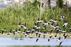 a flock of black-winged stilts (Fat Burns ☮) Tags: bird fauna bribieisland australianbird himantopushimantopus blackwingedstilt australianfauna buckleyshole nikond750 sigma150600mmf563dgoshsmsports sigmatc140114xteleconverternik