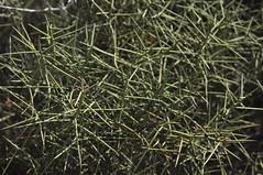 Allthorn (J T Williams) Tags: texas spinosa allthorn koeberlinia