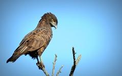 Brown Snake Eagle (HDS Photography) Tags: nature birds southafrica eagle wildlife krugernationalpark satara orpen birdlife knp birdphotography wildlifephotography brownsnakeeagle southernafricanbirds