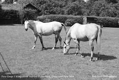 Two Greys !! Didmarton, Gloucestershire 2014 (raybird299) Tags: horses gloucestershire didmarton