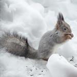 Red squirrel eating thumbnail